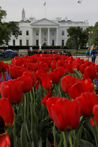Tulips bloom in front of the White House in Washington, US, April 16, 2019. — Reuters