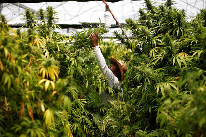 Govt goes back on cannabis cultivation decision