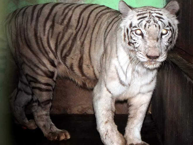 Mumbai national park's last captive white tiger Bajirao dies at age 18