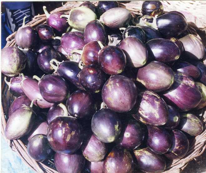 It's not Bt brinjal, but surely GM crop: Horticulture dept