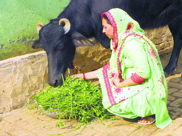 Murrah buffalo — backbone of Haryana's rural economy