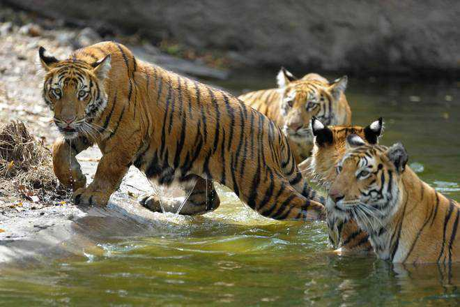 Poachers'' snares kill 36 big cats across India in 2019