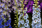 Delphiniums are seen on display at the RHS Chelsea Flower Show at the Royal Hospital Chelsea, London, Britain, on May 20, 2019. — Reuters