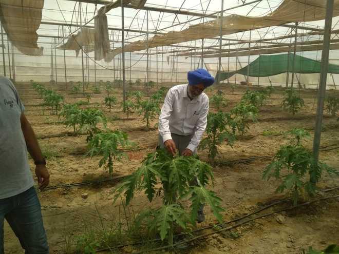 Crop diversification: This farmer has planted 200 papaya saplings