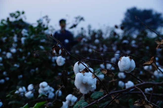 Prolonged heat wave bad for cotton crop: Farmers