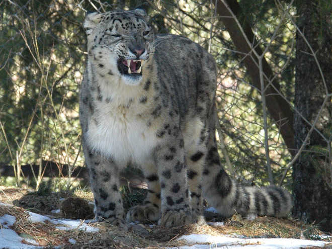 Snow leopard population goes up in state