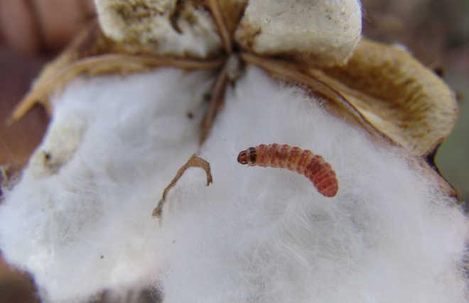 Steps afoot to shield Bt cotton crop