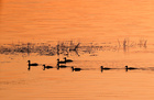 The rising sun illuminates a duck with ducklings swimming in a lake near the town of Vileika, Belarus June 16, 2019. — Reuters