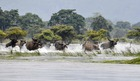 In this photo taken on July 17, 2019, a herd of wild buffalos wade through floodwaters at the flood affected area of Kaziranga National Park in the India's northeast state of Assam. — AFP