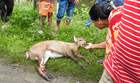 In this photo taken on July 14, 2019, villagers look at a deer, which was injured by a speeding vehicle at National Highway-37, in the flood affected area of Kaziranga National Park in the India's northeast state of Assam. — AFP