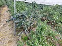 Blueberry shows promise in Himachal