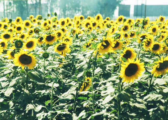 State to promote sunflower farming