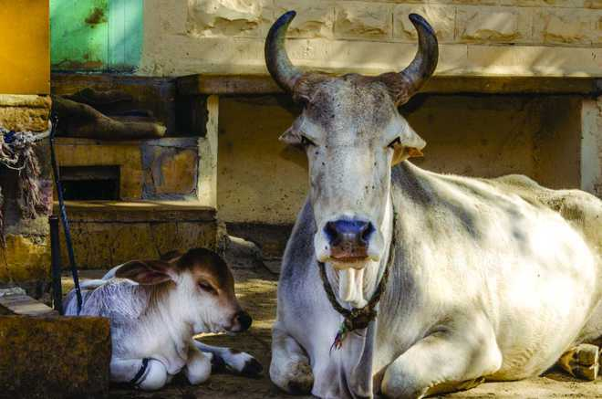 Cow cess not being used properly, rue residents