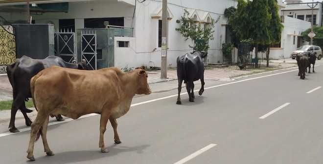 Ambala admn to motivate residents to adopt stray cattle