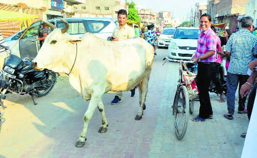 Rein in stray cattle, Moga civic body told
