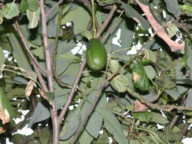 Avocado Shows Promise In State
