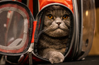Thunder Folds Cat arrives before the Algonquin Hotel's Annual Cat Fashion Show in the Manhattan borough of New York City, New York, August 1, 2019. — Reuters