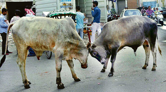 Cow cess a mess in Punjab