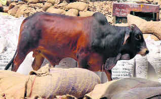 Experts: Make unproductive cattle economically viable