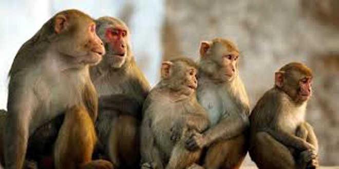 100 monkeys found dead, govt clueless