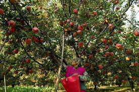 Buying apples directly will weaken Valley's economy: Drabu