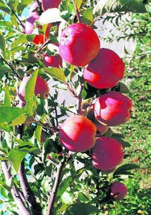 Two-day apple fest in Shimla