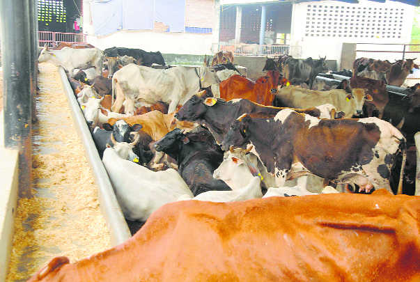 Overcrowded gaushalas impede cattle care