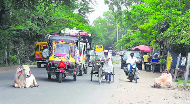 Panipat, a haunt of stray cattle