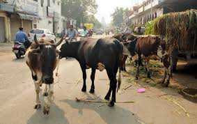Hindu outfits okay with getting rid of stray exotic cattle