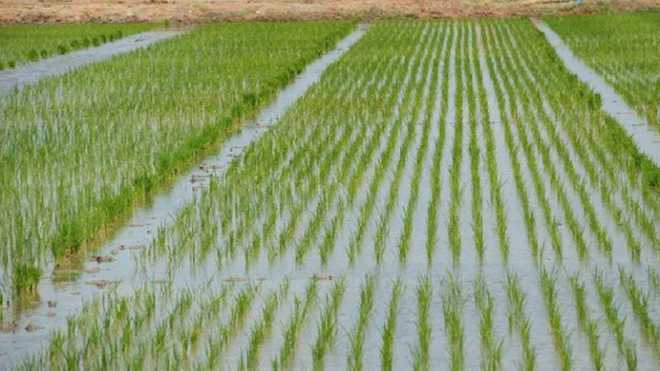 Punjab Cabinet gives nod to new paddy policy with more teeth to check rice diversion